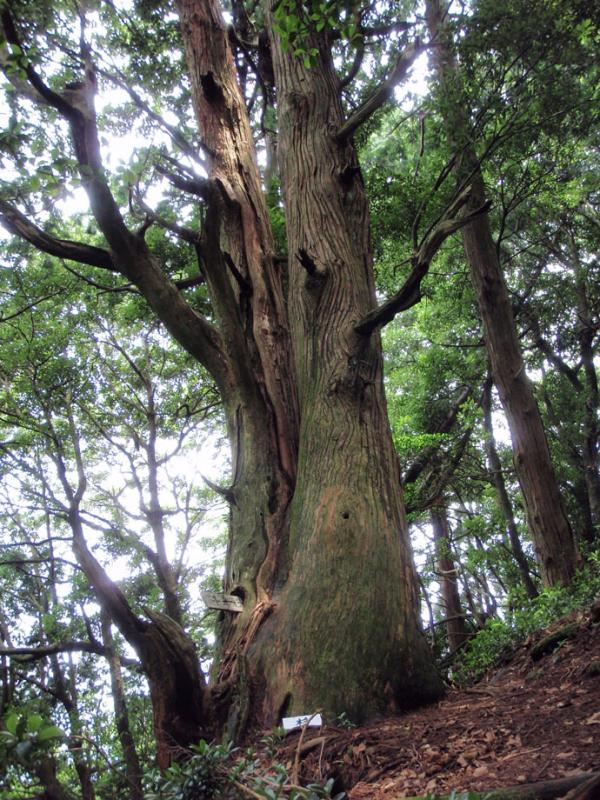 松尾山の千年杉:松尾山国有林
