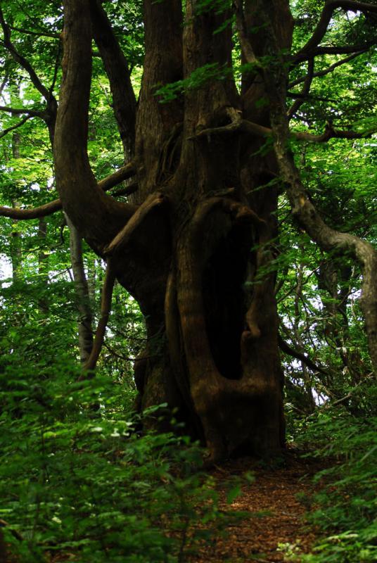アシュウスギ:畑ヶ平国有林