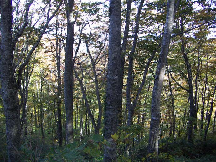 林内ブナ:三川山奥国有林