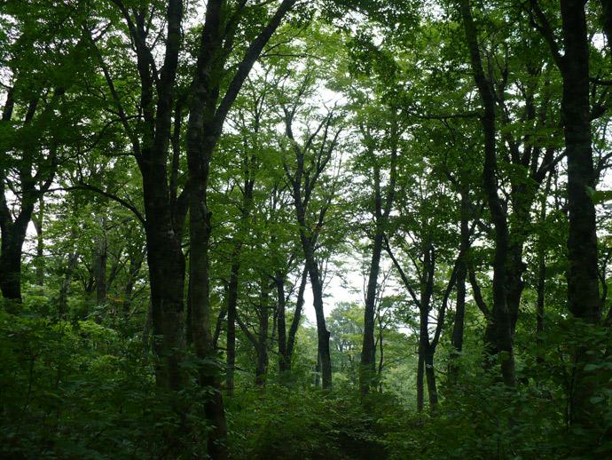 千丈平ブナ植物群落保護林:千丈ヶ峰国有林