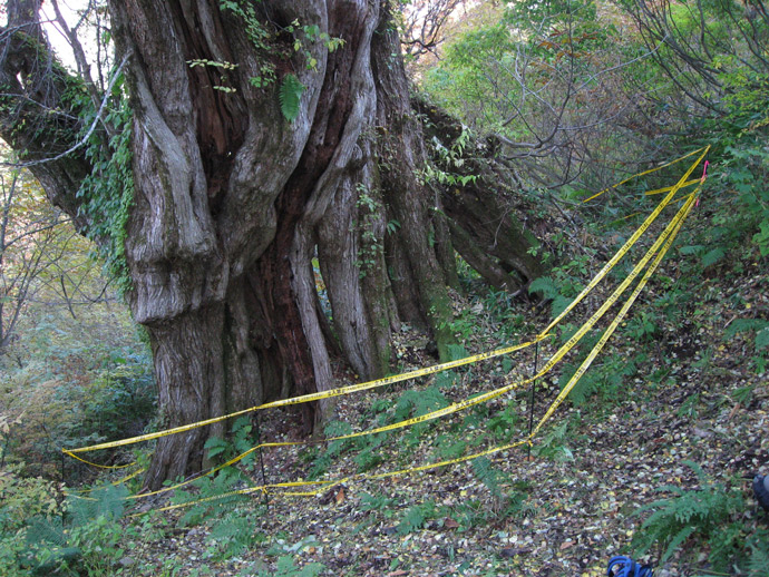 森の巨人たち100選「コモチカツラ」:山伏山国有林