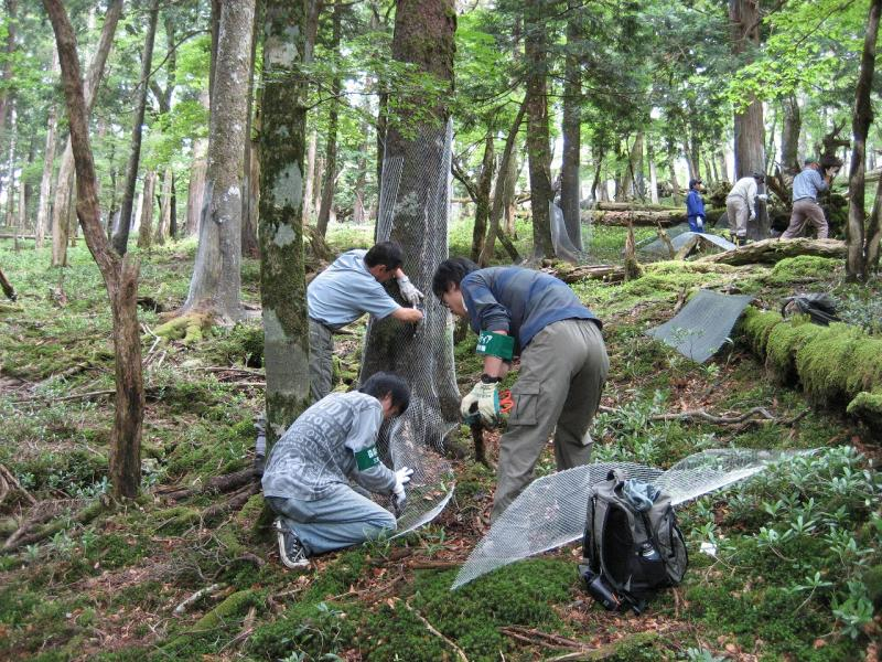 ボランティアによる樹木保護作戦:大杉谷国有林