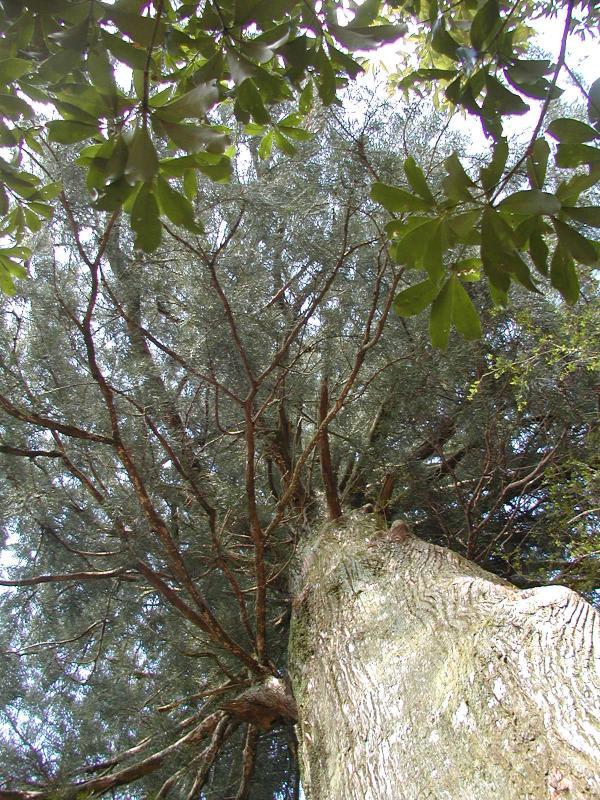 森の巨人100選『一本杉』:大杉谷国有林