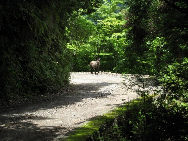 カモシカ:大又国有林