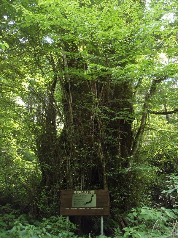 森の巨人たち100選『大又のカツラ』:大又国有林