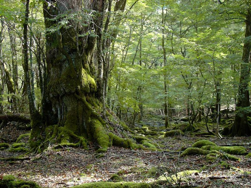 森林生態系保護地域(西谷):大杉谷国有林