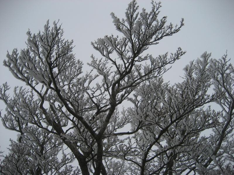 樹氷-日出ヶ岳-:大杉谷国有林