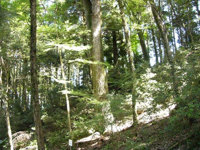 森林の巨人たち百選:アベマキ