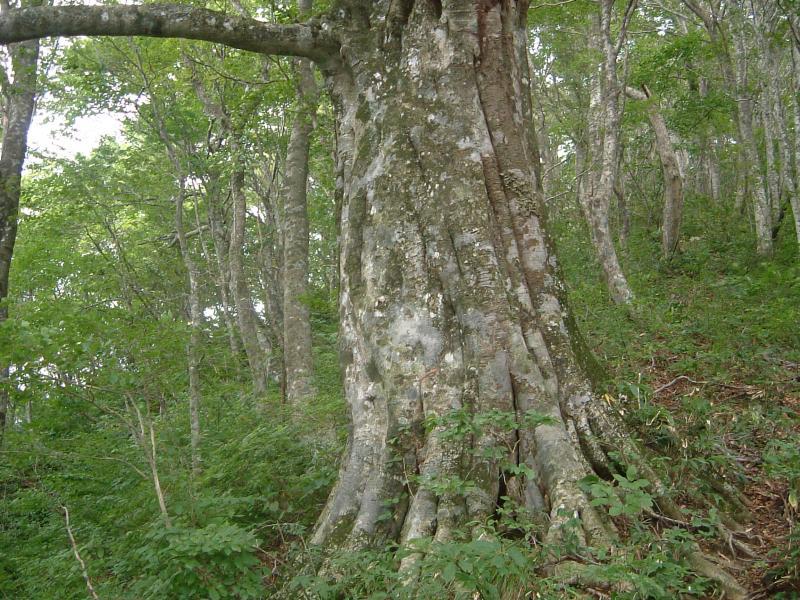 上谷山ブナ・ミズナラ植物群落保護林内のブナ巨木
