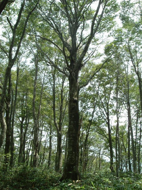 上谷山国有林夏のブナ林