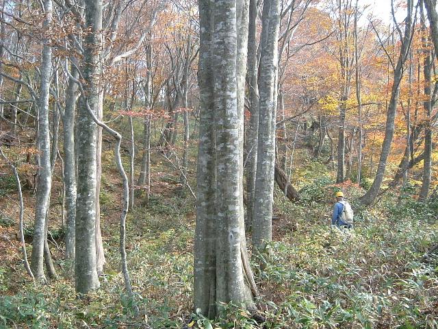上谷山国有林秋のブナ林