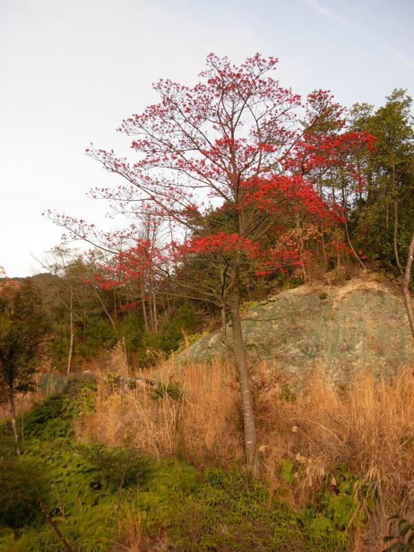 一丈野国有林内のたまみずきの道沿いのタマミズキ