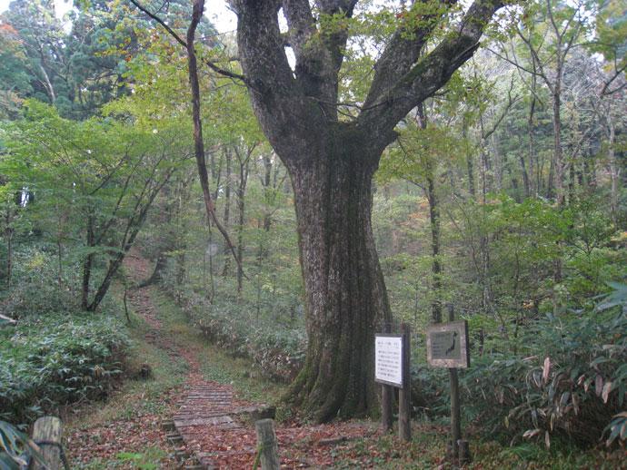 安蔵寺山の大ミズナラ(ナラ太郎):高嶺芦谷国有林(津和野町)