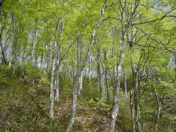船通山ブナ遺伝資源保存林