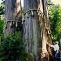 大悲山の三本杉