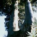 桃木峠の大杉