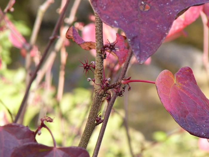 マルバノキ(花と紅葉)