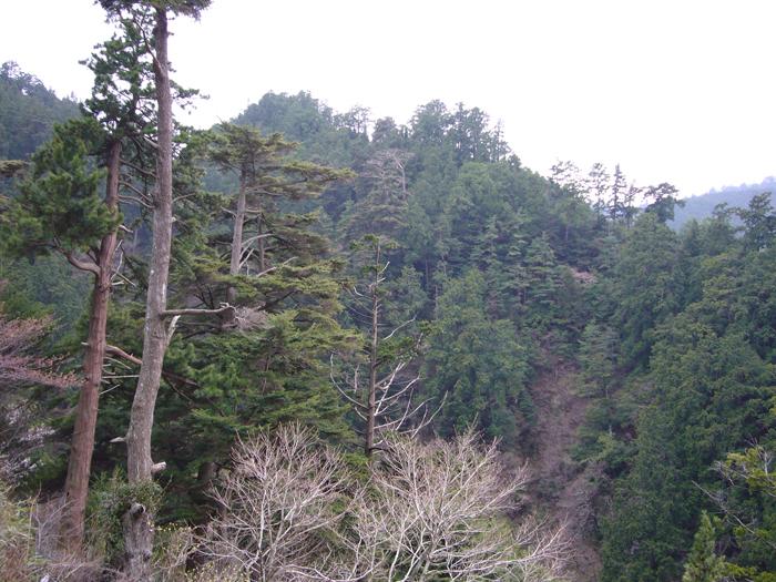 コウヤマキ保護林遠景