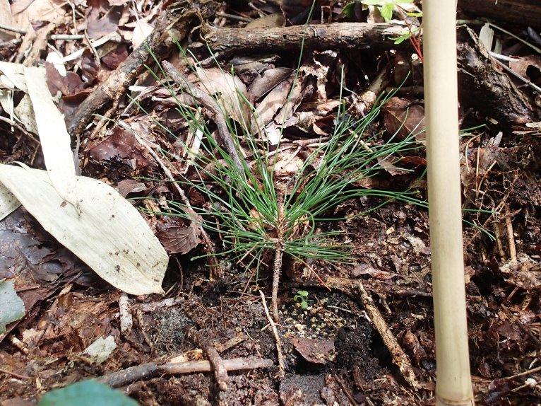 植栽された滑マツ稚樹