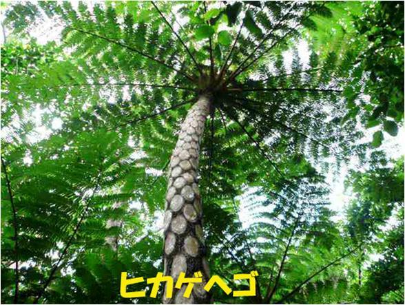 西表自然休養林ーヒカゲヘゴ