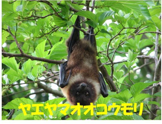 西表自然休養林ーオオコウモリ