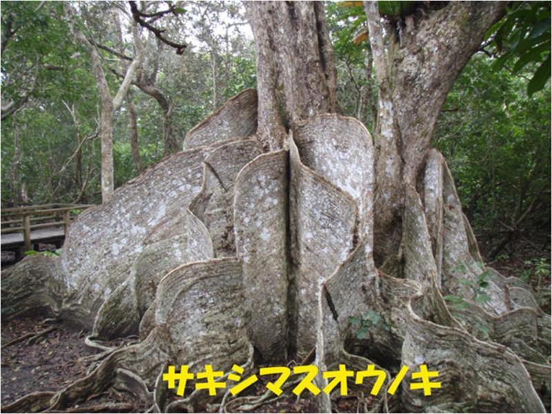 西表自然休養林ーオウノキ(見どころ)