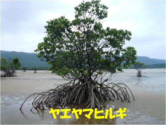 西表自然休養林ーヤエヤマヒルギ