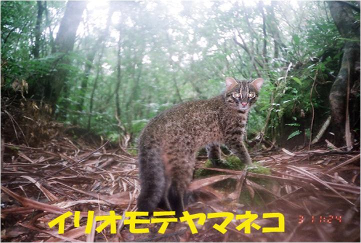 西表自然休養林ーイリオモテヤマネコ