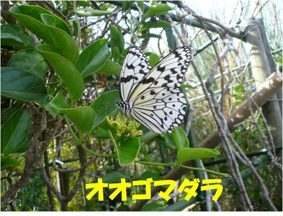 西表自然休養林ーオオゴマダラ