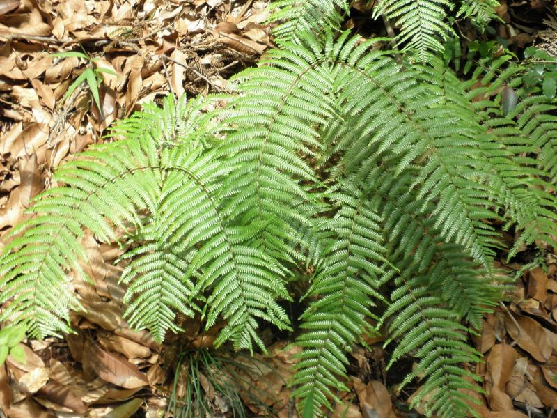 黒髪山自然休養林ーカネコシダ