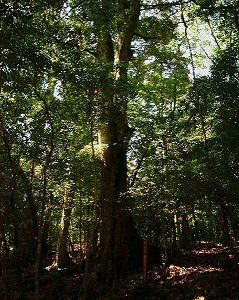 御池風致探勝林ー巨木イチイガシ