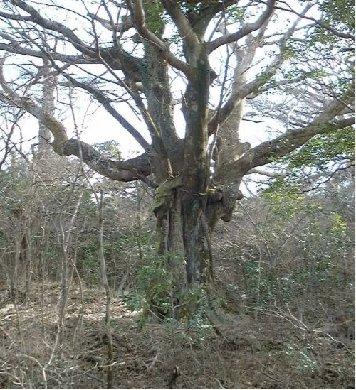 おおすみ自然休養林ーブナ大木