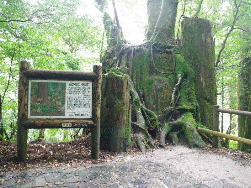 屋久島自然休養林ーヤクスギ切り株