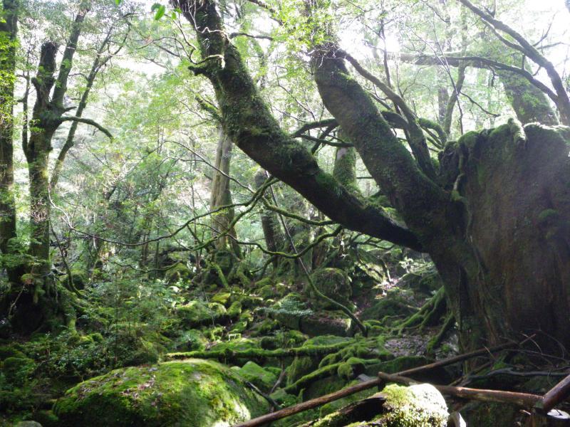 屋久島自然休養林ー苔むす森