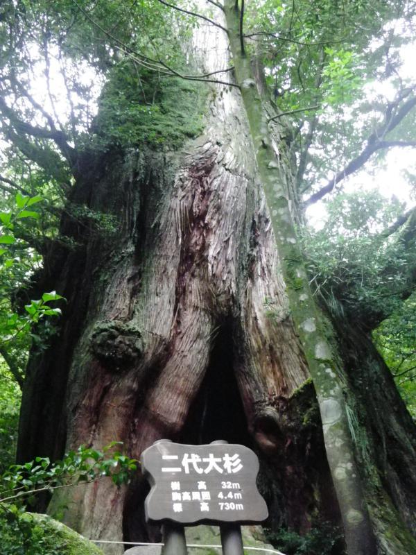 屋久島自然休養林ー二代大杉