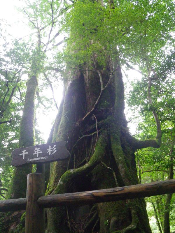 屋久島自然休養林ー千年杉