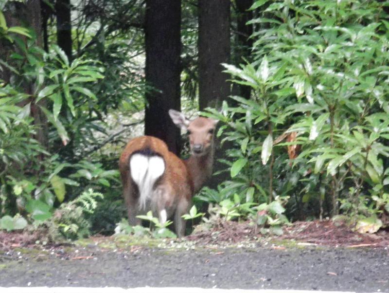 屋久島自然休養林ーヤクシカ1