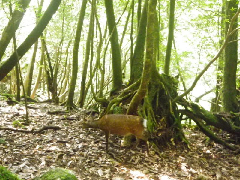 屋久島自然休養林ーヤクジカ