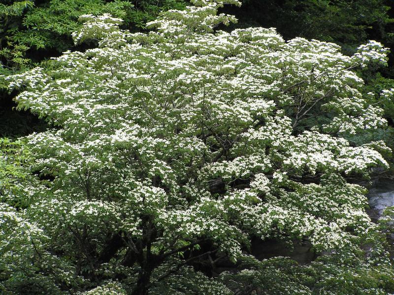 屋久島自然休養林ーヤマボウシ