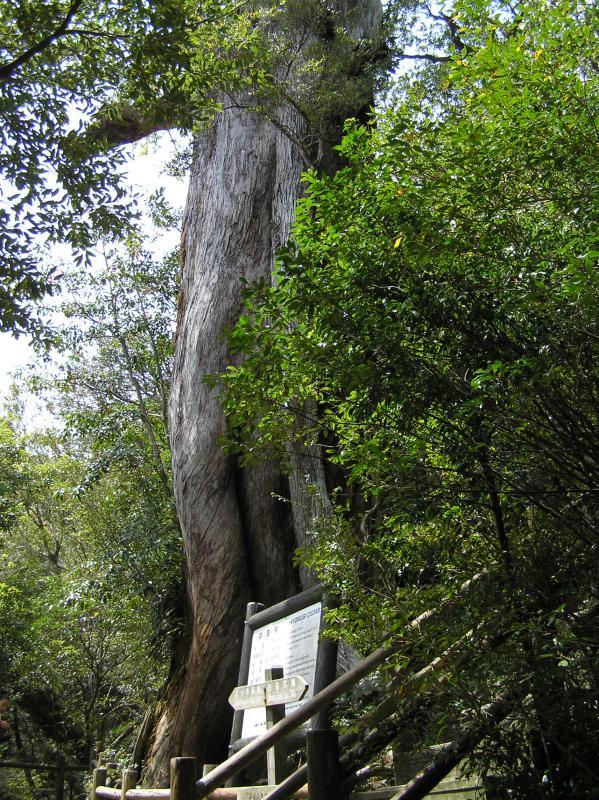 屋久島自然休養林ー弥生杉