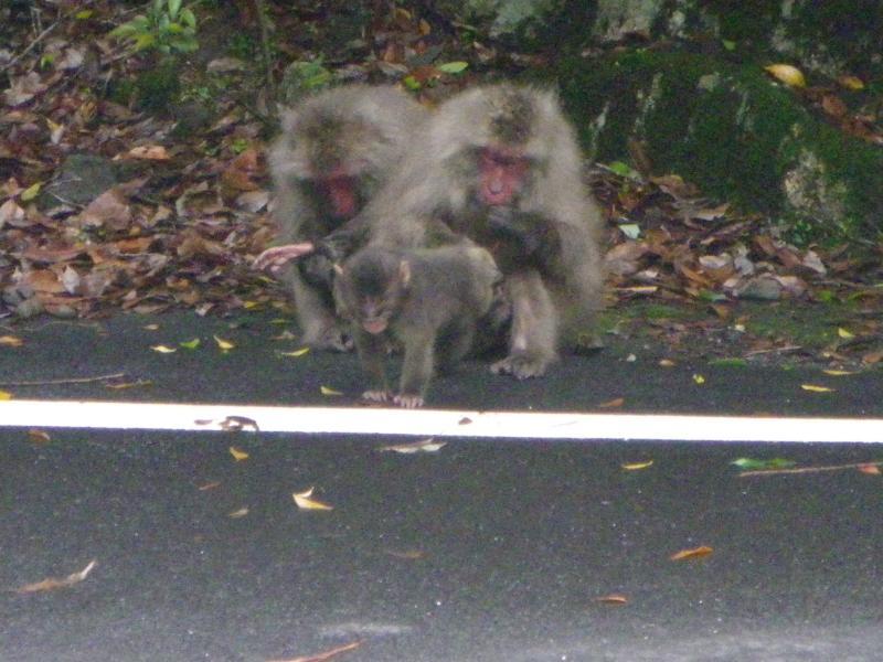 屋久島自然休養林ーヤクザル