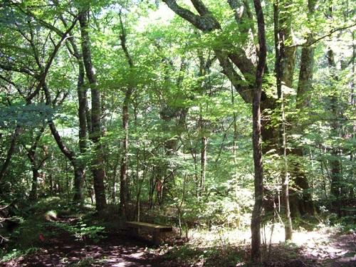 黒岳の自然林