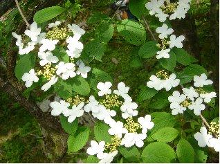 由布鶴見岳自然休養林ーヤブデマリ
