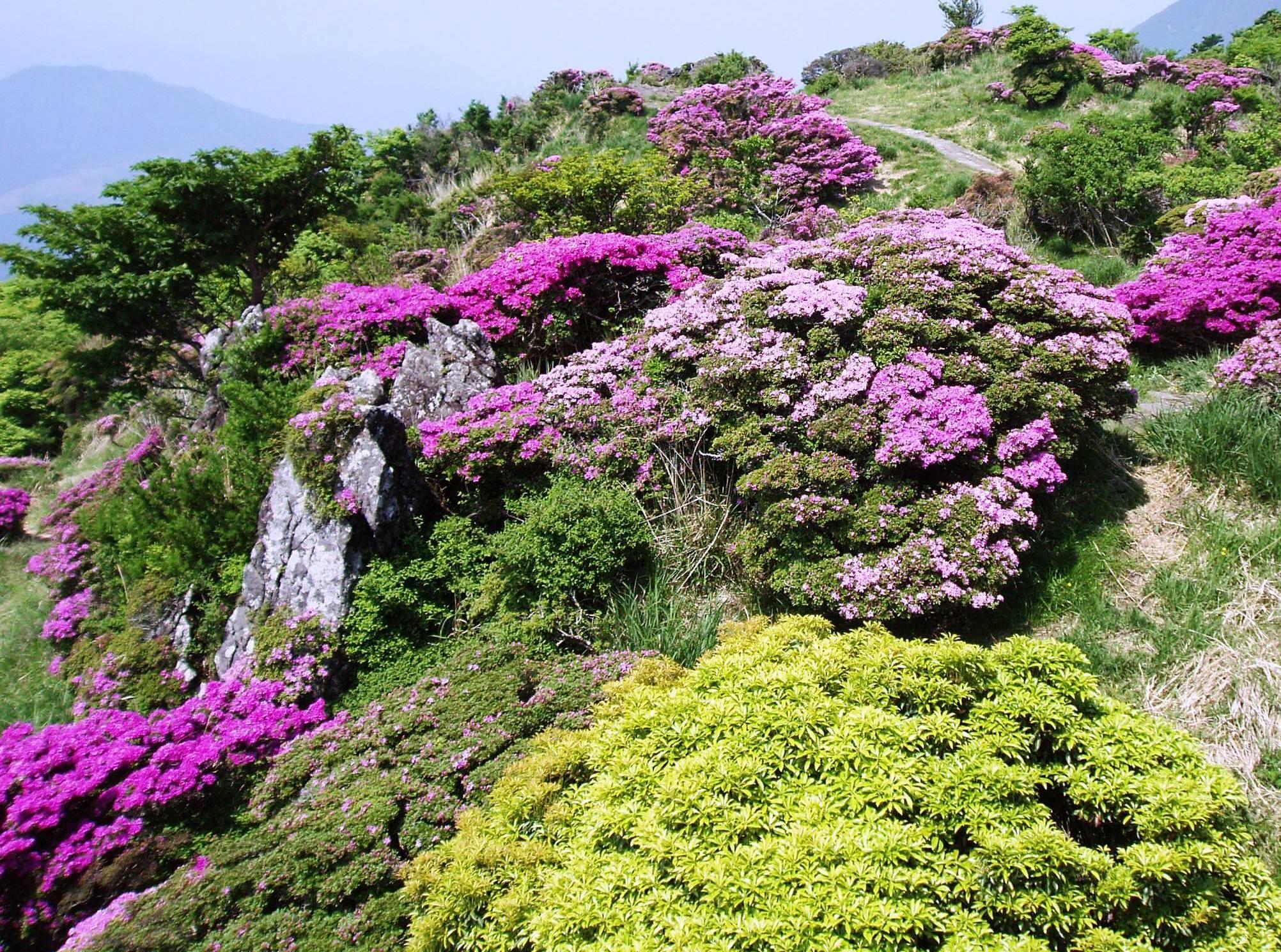 鶴見岳のミヤマキリシマ