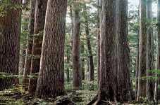 千本山保護林の天然ヒノキ