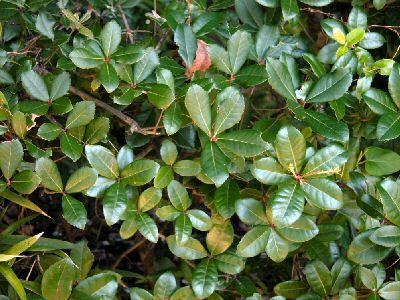 ウバメガシの画像 p1_23