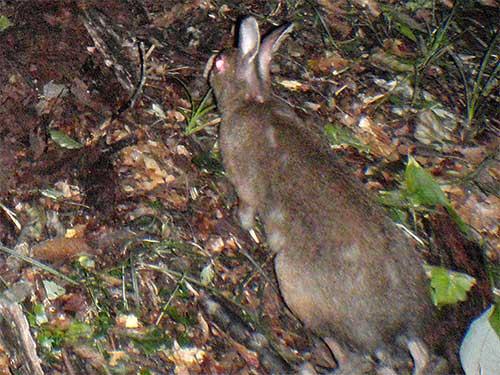 ニホンノウサギの画像 p1_1