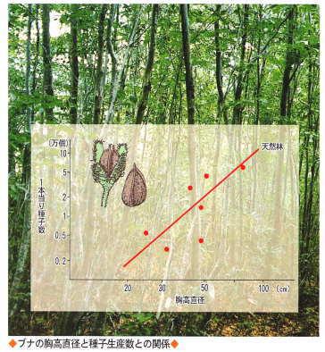 胸高直径とブナ種子の関係