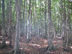 安比高原のブナ二次林