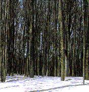 冬のブナ二次林